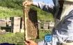 视频素材:实拍养蜂人打开蜂箱蜜蜂视频