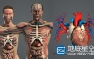 3D模型:男女人体解剖模型 Turbosquid – Male and Female Anatomy Complete Pack V05