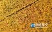 视频素材:航拍俯视农民收割水稻场景