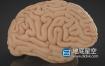 C4D模型-人体大脑C4D模型 Cerebro 3d model