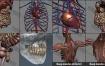 3D模型-人类男性和女性完整的解剖人体器官 肌肉 心脏 内脏 脉络 骨骼 生物器官
